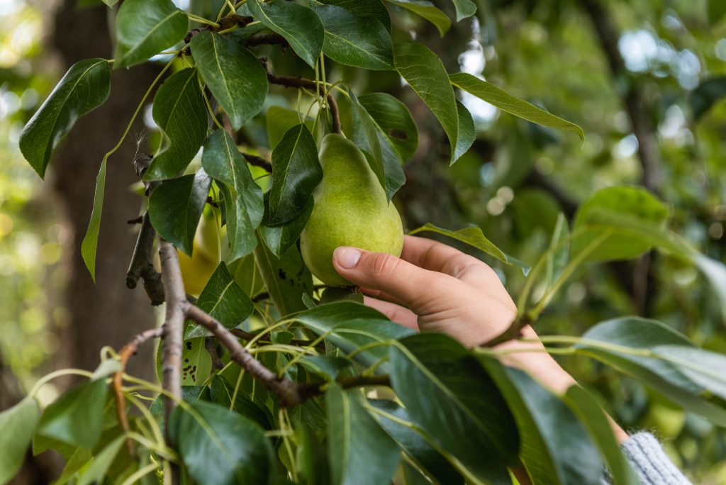 picking a pear
